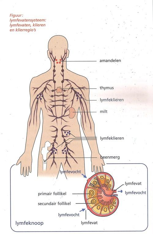 Het lymfevatensysteem met de lymfevaten, klieren en klierregio's.