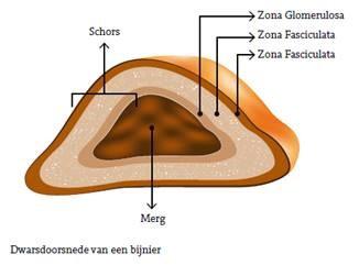 Illustratie doorsnede van de bijnieren - bijniernet.nl