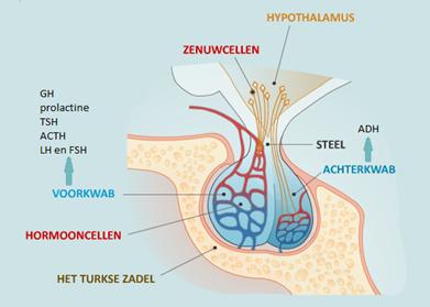 Illustratie hypofyse - beeld cyberpoli.nl