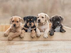 Foto van een mand met 4 puppytes